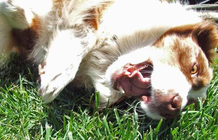 Jack Jack the Australian Shepherd Pictures 977845