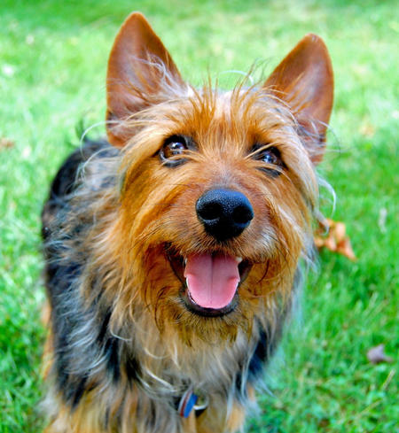 Jack the Australian Terrier Pictures 1058448
