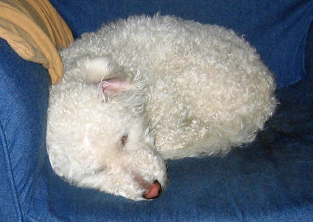 Jack the Bichon Frise Pictures 822950