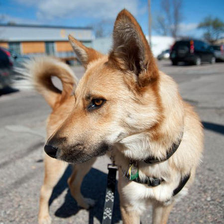 Jack the Canaan Dog Mix Pictures 789123