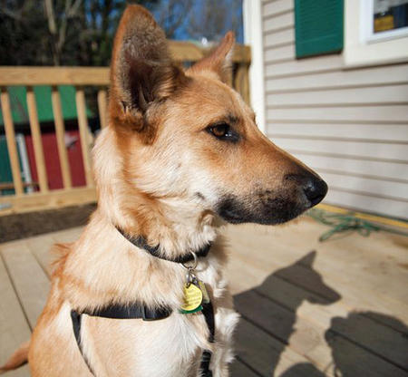 Jack the Canaan Dog Mix Pictures 789126