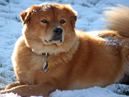 Jack the Chow Mix Pictures 696066