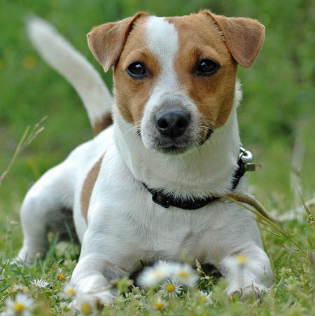Jack the Jack Russell Terrier Pictures 669195