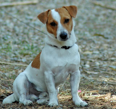 Jack the Jack Russell Terrier Pictures 669199