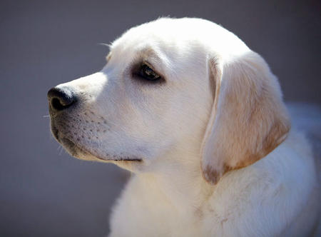 Jack the Labrador Retreiver Pictures 686737