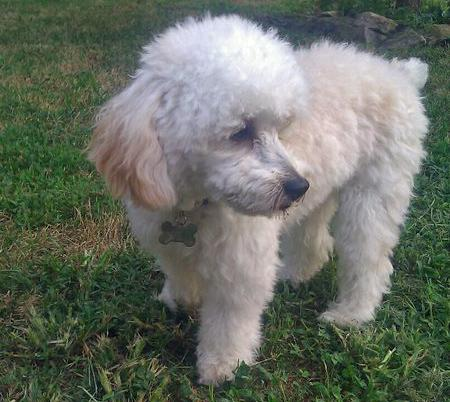 Jack the Poodle  Pictures 883331