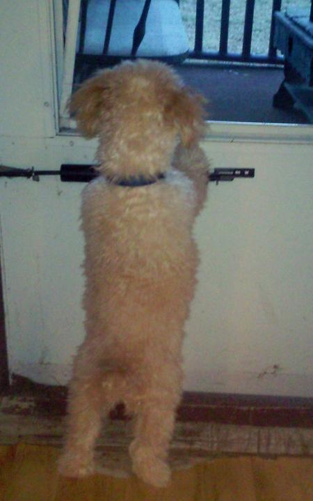 Jack the Poodle  Pictures 883332