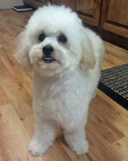 Jack the Poodle  Pictures 883334