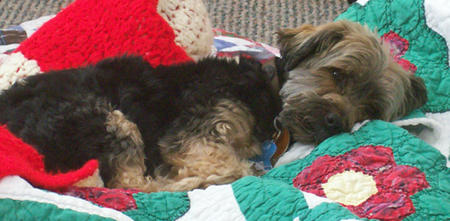 Jack the Yorkshire Terrier Pictures 830004