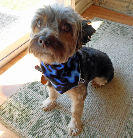 Jack the Yorkshire Terrier Pictures 830007