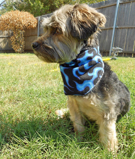 Jack the Yorkshire Terrier Pictures 830008