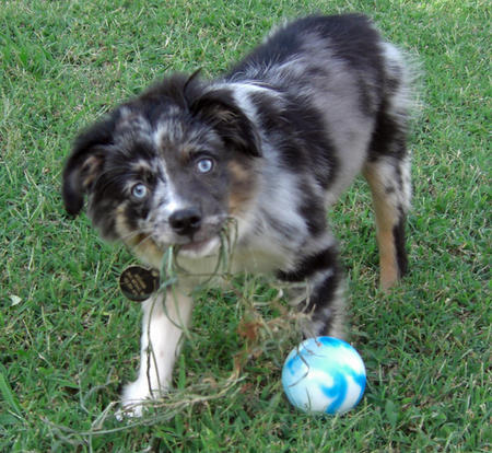 Jackaroo the Australian Shepherd Pictures 718023
