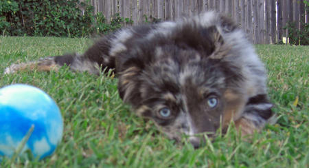 Jackaroo the Australian Shepherd Pictures 718024