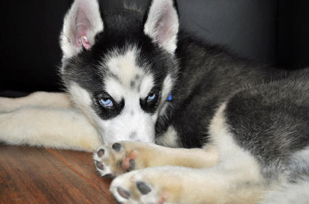 Jackie the Siberian Husky Pictures 797030