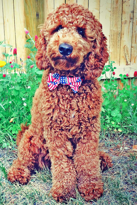 Jackson the Labradoodle Pictures 1022425