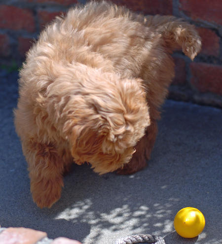 Jacob the Goldendoodle Pictures 614669