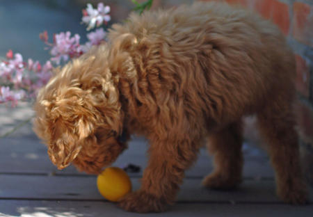 Jacob the Goldendoodle Pictures 614670