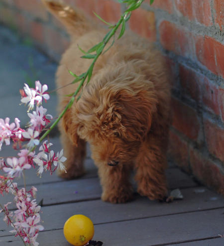 Jacob the Goldendoodle Pictures 614671