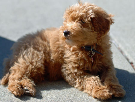 Jacob the Goldendoodle Pictures 614672