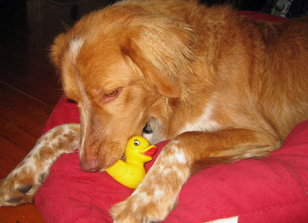 Jaffa the Duck Tolling Retriever Pictures 475734