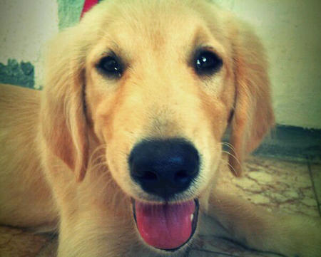 Jagger the Golden Retriever Pictures 856822