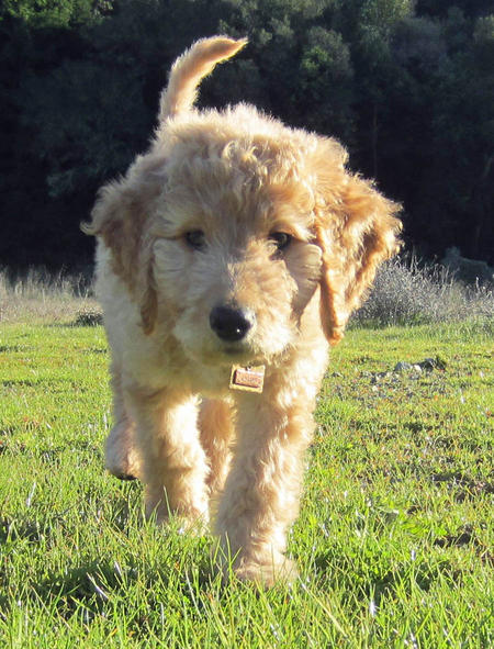 Jagger the Goldendoodle Pictures 953242