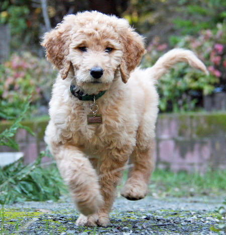Jagger the Goldendoodle Pictures 953243