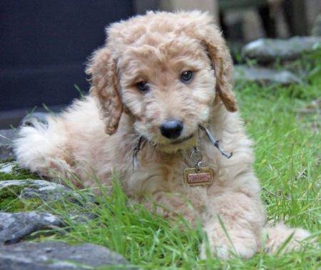 Jagger the Goldendoodle Pictures 953244