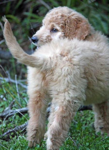 Jagger the Goldendoodle Pictures 953245