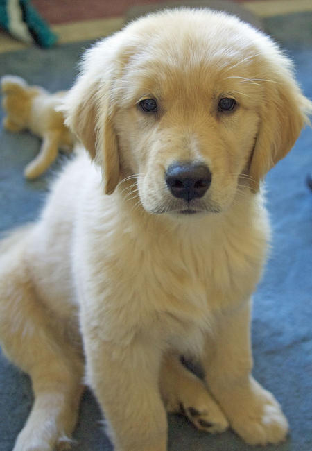 Jake the Golden Retriever Pictures 842580