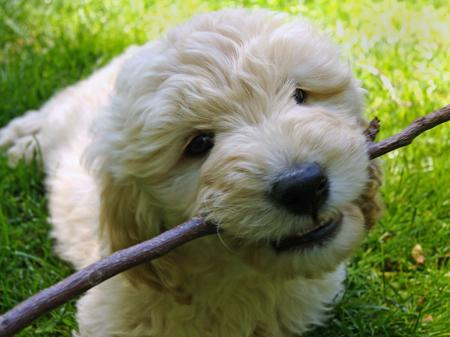 Jake the Goldendoodle Pictures 588866