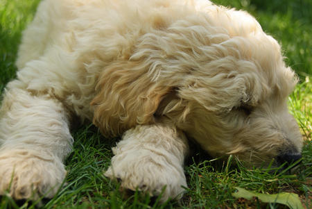Jake the Goldendoodle Pictures 588867