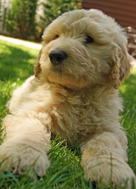 Jake the Goldendoodle Pictures 588869