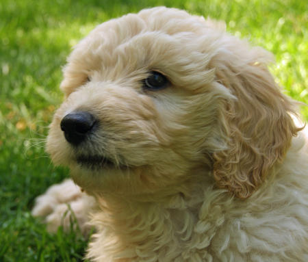 Jake the Goldendoodle Pictures 588870