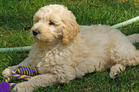 Jake the Goldendoodle Pictures 588865