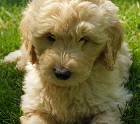 Jake the Goldendoodle Pictures 588868