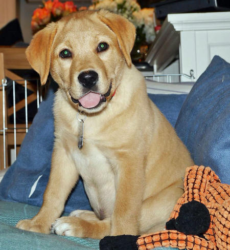 Jake the Labrador Retriever Pictures 1006707