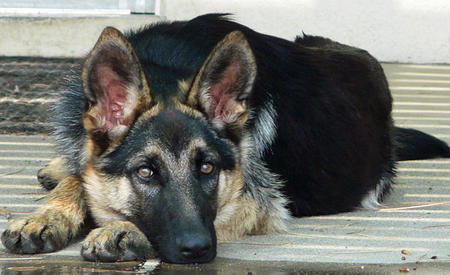 Jambo the Adoptable German Shepherd Pictures 788991