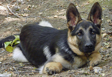 Jambo the Adoptable German Shepherd Pictures 788993