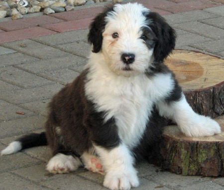 James the Old English Sheepdog Pictures 540995