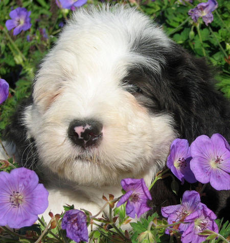 James the Old English Sheepdog Pictures 540996