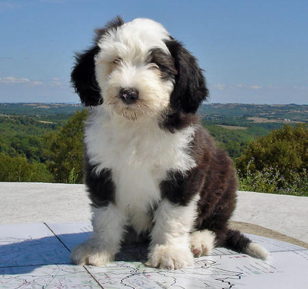 James the Old English Sheepdog Pictures 540998