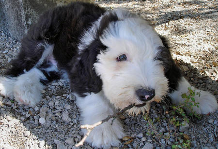 James the Old English Sheepdog Pictures 541000