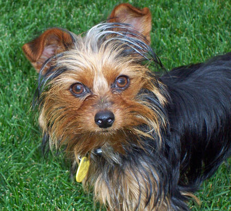 Jasper and Edward the Yorkie Mixes Pictures 427459