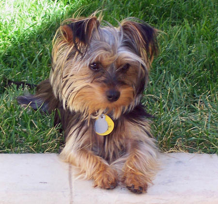 Jasper and Edward the Yorkie Mixes Pictures 427462