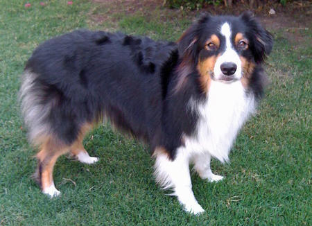 Jasper the Australian Shepherd Pictures 1053569