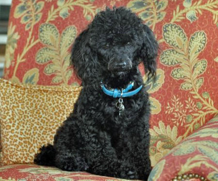 Jasper the Poodle  Pictures 1025391