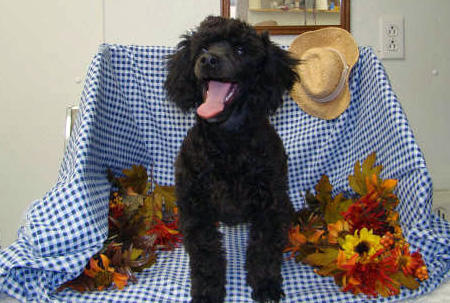 Jasper the Poodle  Pictures 1025392