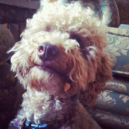 Jasper the Toy Poodle Pictures 965727