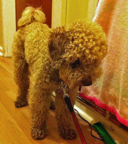 Jasper the Toy Poodle Pictures 965728